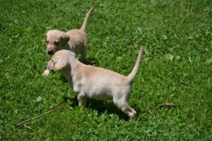 angel pups_1
