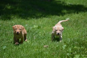 angel pups_6